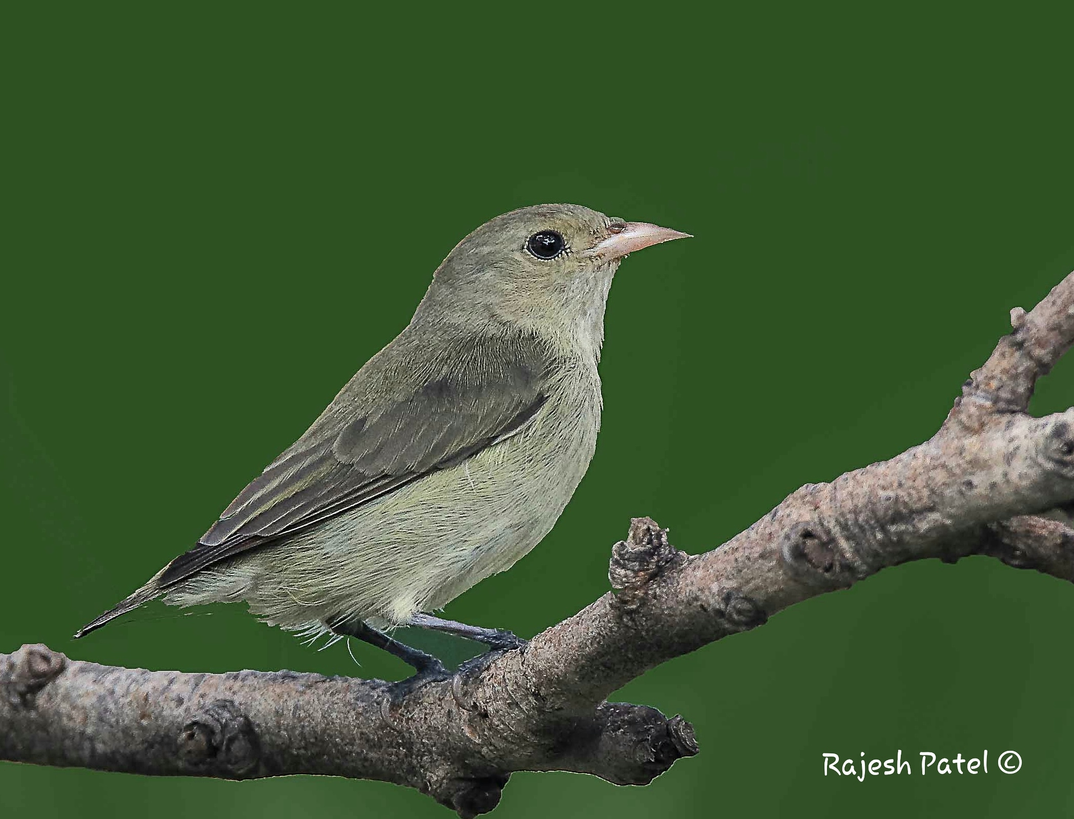 Pale-billed Flowerpecker