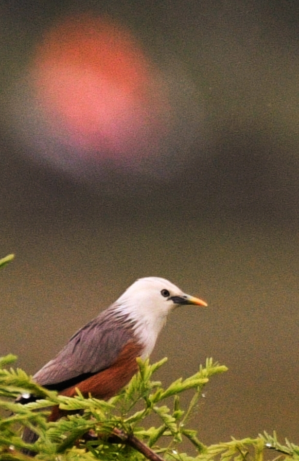 Malabar Starling (Blyth's Starling)