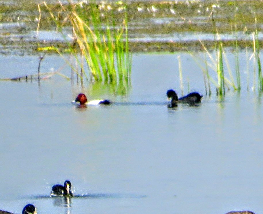 Common Pochard
