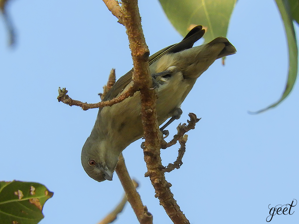 Thick-billed Flowerpecker