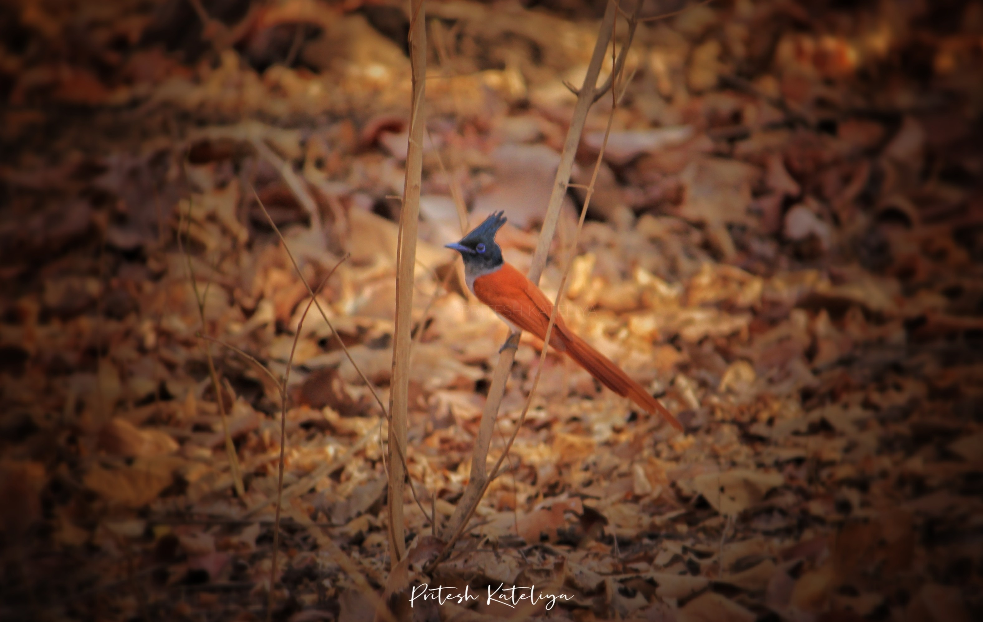 Asian Paradise-flycatcher