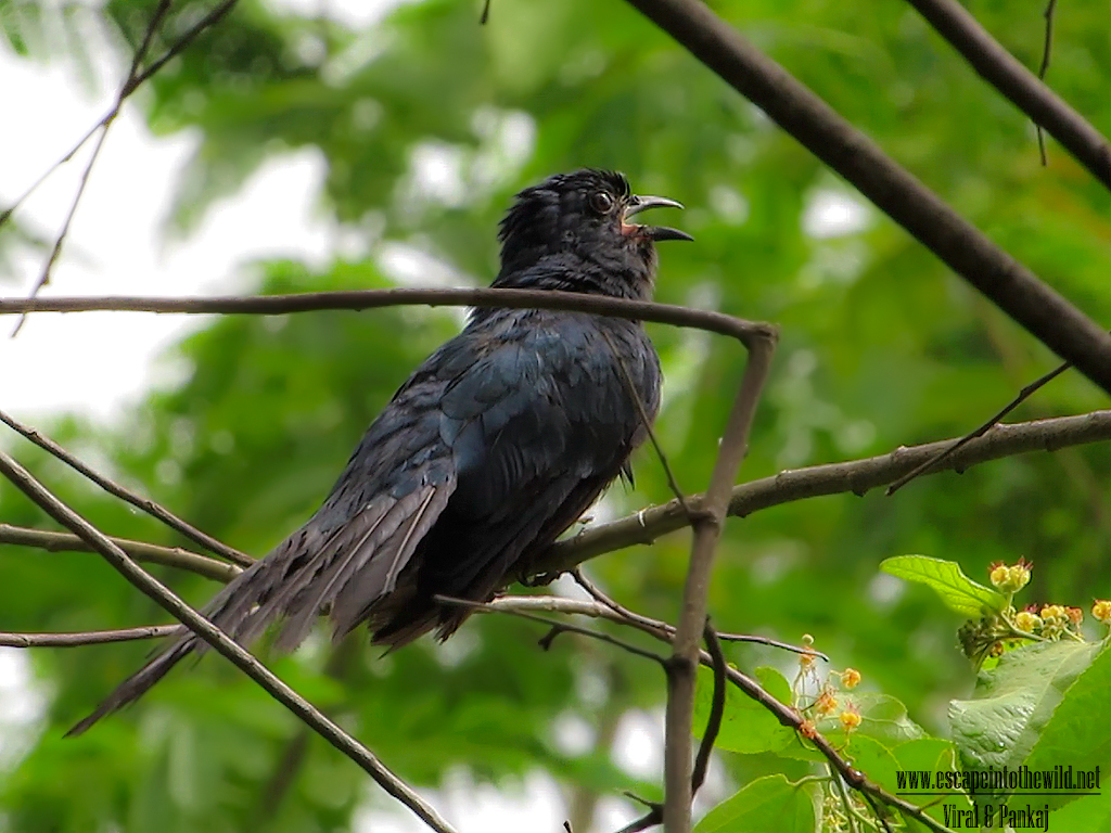 Asian Drongo Cuckoo