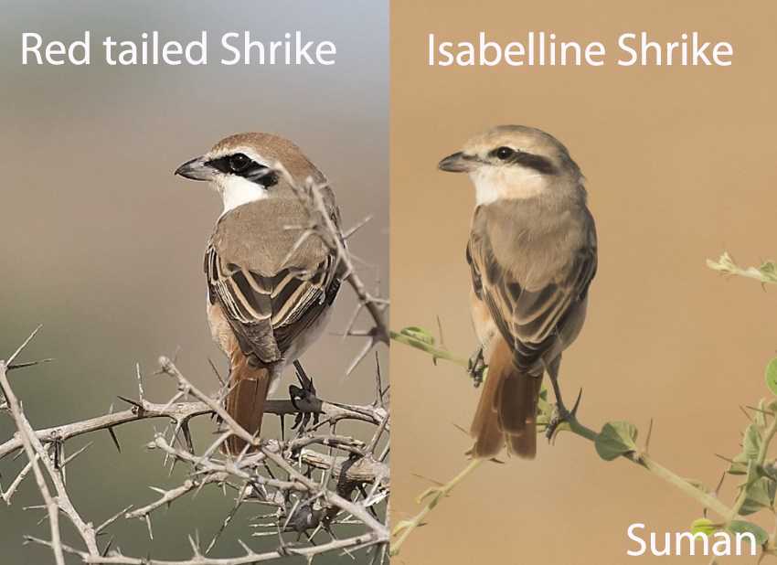 Red-tailed Shrike