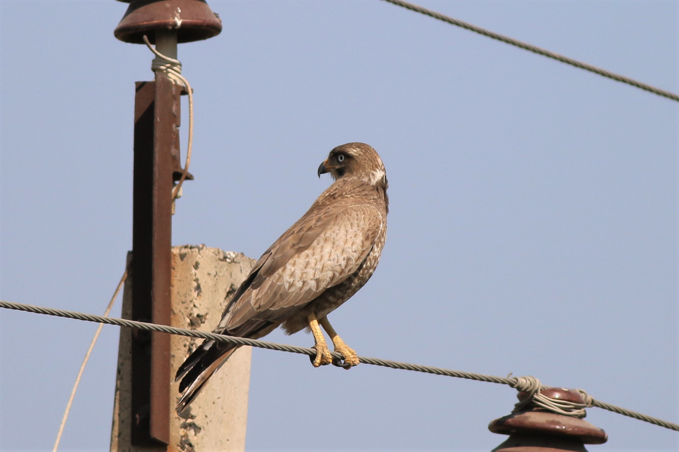 White-eyed Buzzard